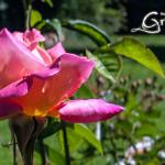 Kooikerhondje Welpen of Grannys Rose