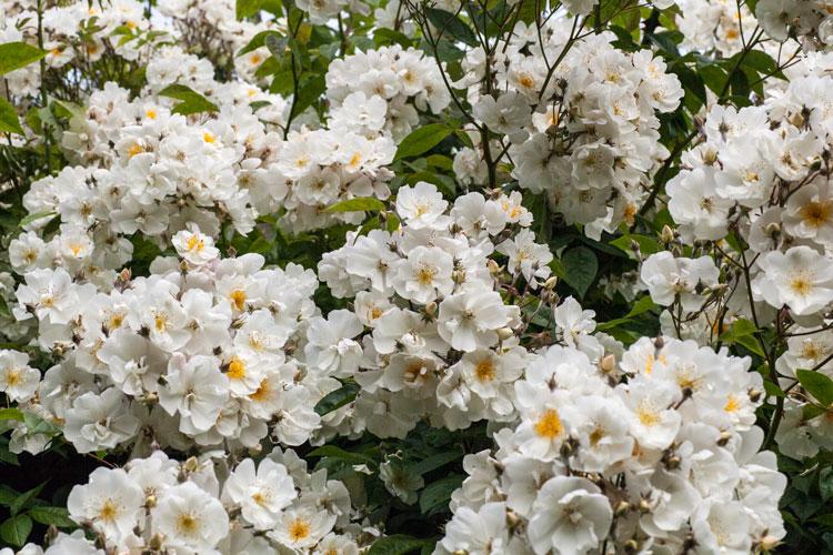 zigtausend Blüten an der Bobby James